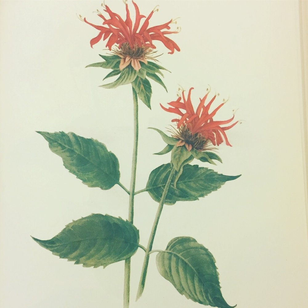 Mary Vaux Walcott, Wild Flowers of America, Published by Smithsonian Institute, 1953. Minneapolis Athenaeum