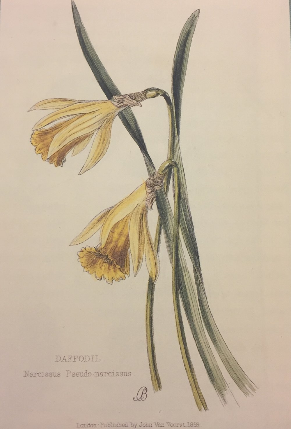 Daffodil. Narcissus Pseudo narcissus. Lady Wilkinson's Weeds & Wildflowers, 1885.