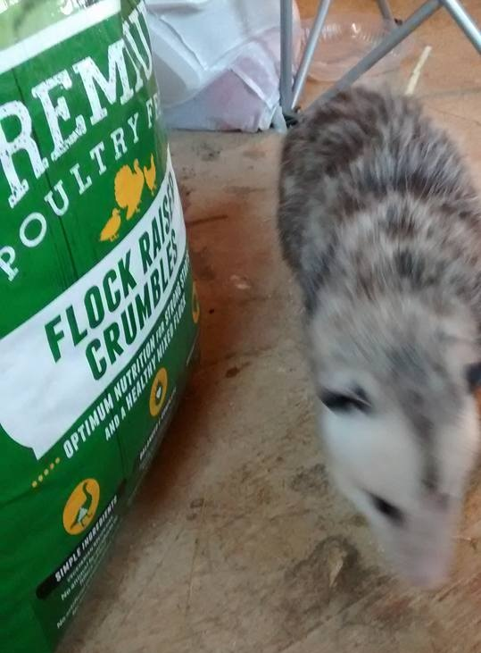 Romeo was blind but he knew what chicken food smelled like! -