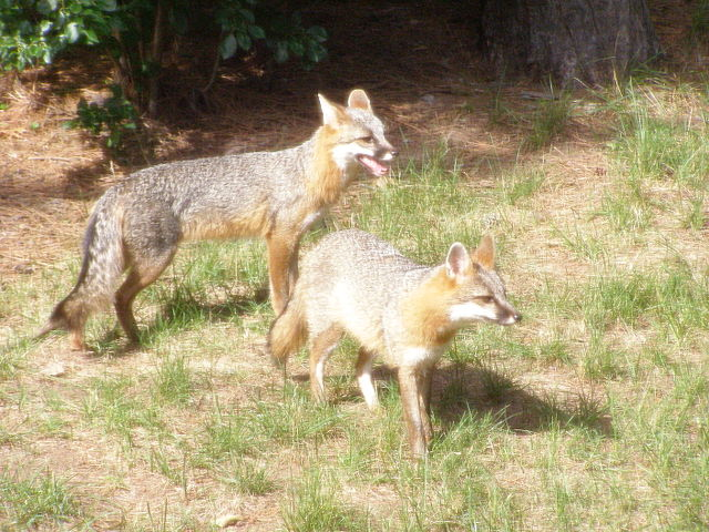 Male and Female adult Gray fox