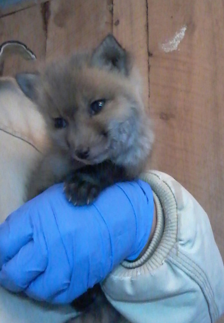 Hope one of our fox rescues