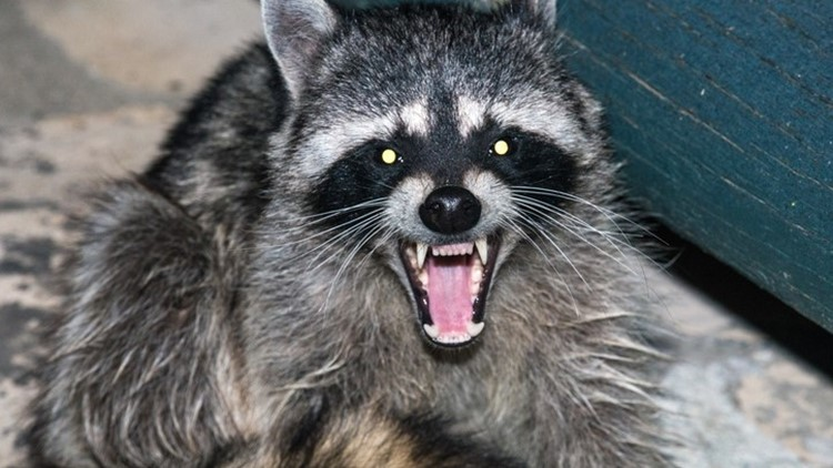 """Raccoons probably have the """"baddest"""" reputation for carrying rabies but in Kentucky, most cases are actually from bats. - Picture via https://www.11alive.com"""