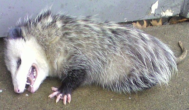 Opossum Playing Dead - Picture by John Ruble on Wikimedia