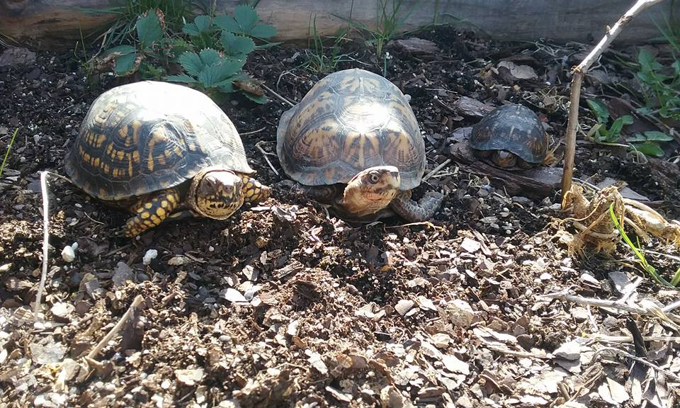 Eastern Box turtles in our pre-release enclosure at Fox Run Environmental Education Center