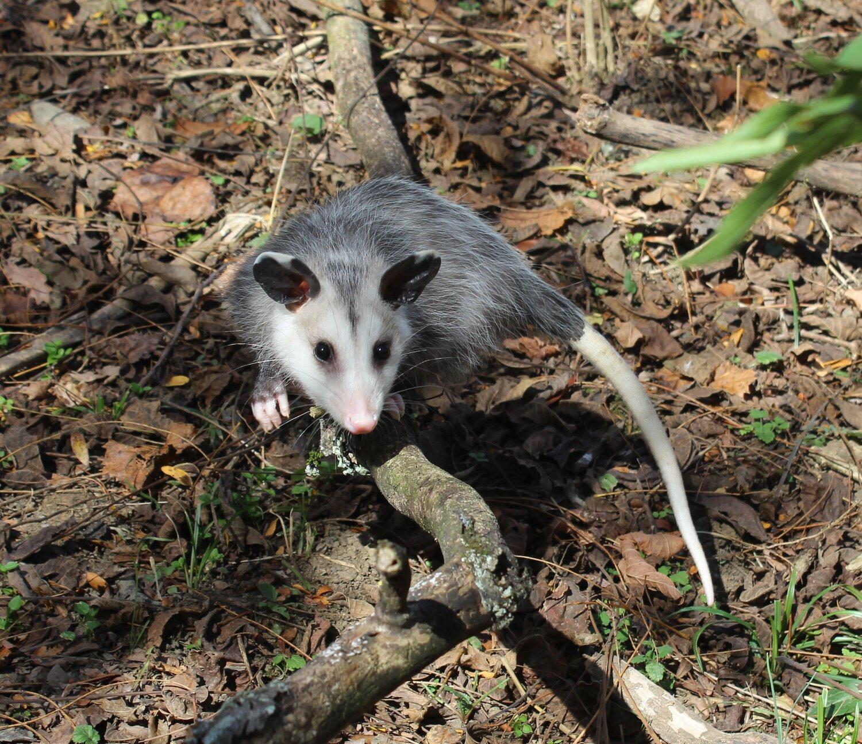 Opossums: Kentucky's Only Stunning Marsupial! — Fox Run