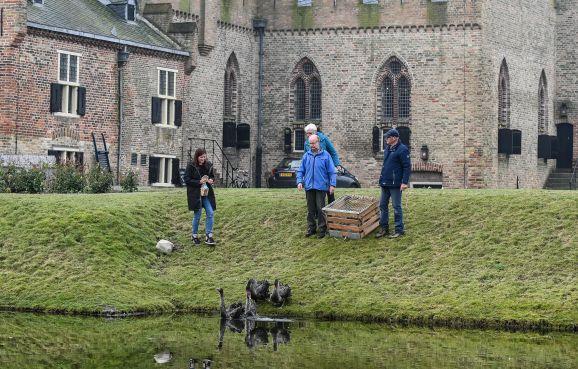 Kasteel medemblik - Zwarte zwanen in de kasteelgracht. Helaas na week al spoorloos verdwenen