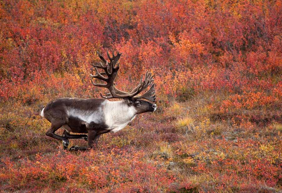 Denali Caribou Autumn #1
