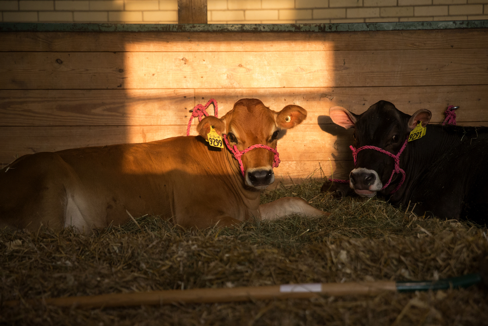 "Cows rest in the sun in the ""Hall of Champions"" barn at the Illinois State Fair Tuesday, August 18, 2015 in Springfield. (Erin Hooley/Chicago Tribune)"