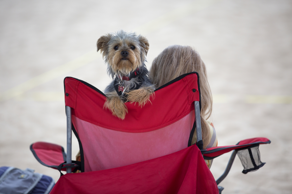 A small dog peers over the back of a chair at North Avenue Beach Monday, July 4, 2016, in Chicago. (Erin Hooley/Chicago Tribune)