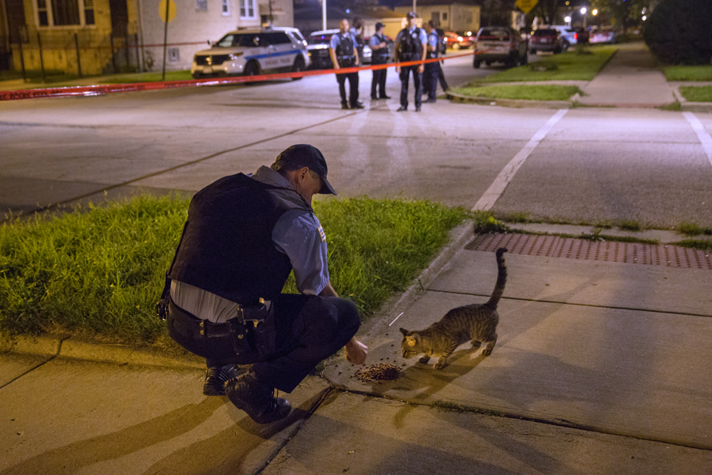A member of the Chicago Police Department puts out kibble for a cat at the scene of a shooting in the 7100 block of South Paulina Street Friday, August 26, in the West Englewood neighborhood of Chicago. A 22-year-old male was shot in the ankle. (Erin Hooley/Chicago Tribune)