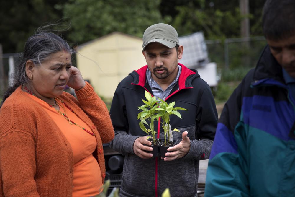 From left, Renuka, Shiva and Prajapati Pokhrel of Bhutan pick out plants for their garden plot in the Global Garden Refugee Training Farm Wednesday, May 24, 2017, in the Albany Park neighborhood of Chicago. About 100 families, including refugees from Bhutan, Myanmar and elsewhere, have plots in the community garden. (Erin Hooley/Chicago Tribune)