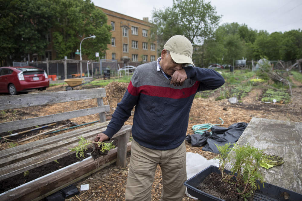 Krishna Bhattarai of Bhutan works in the Global Garden Refugee Training Farm Friday, May 19, 2017, in the Albany Park neighborhood of Chicago. About 100 families, including refugees from Bhutan, Myanmar and elsewhere, have plots in the community garden. (Erin Hooley/Chicago Tribune)
