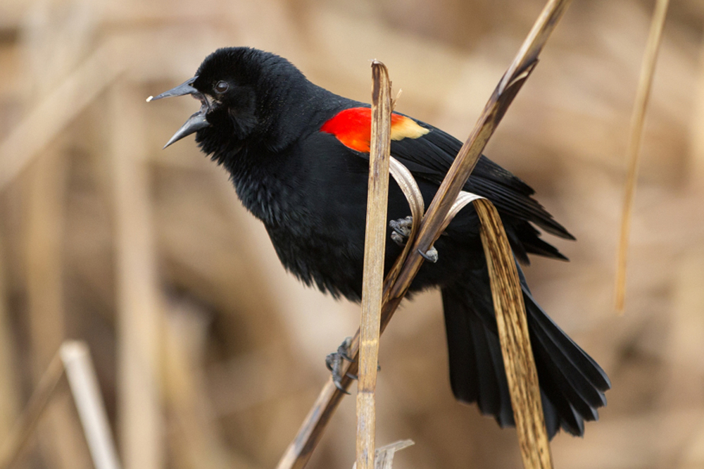 A red-winged blackbird calls out near the Lincoln Park Zoo Tuesday, Feb. 21, 2017, in Chicago. (Erin Hooley/Chicago Tribune)