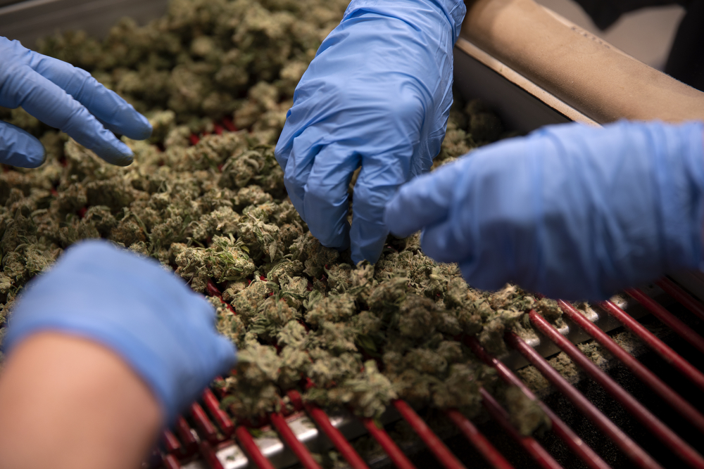 Marijuana buds are trimmed at Cresco Labs medical marijuana cultivation facility Wednesday, August 8, 2018, in Joliet, Ill. (Erin Hooley/Chicago Tribune)