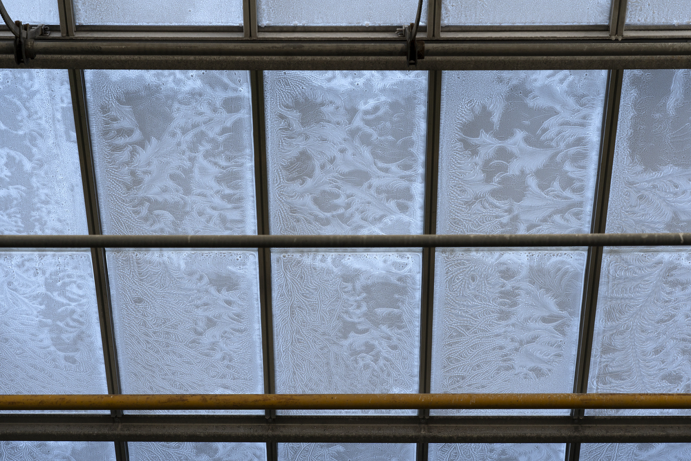 Ice forms intricate patterns on the inside of the windows at the Garfield Park Conservatory on a freezing Thursday, Jan. 31, 2019, in Chicago. (Erin Hooley/Chicago Tribune)