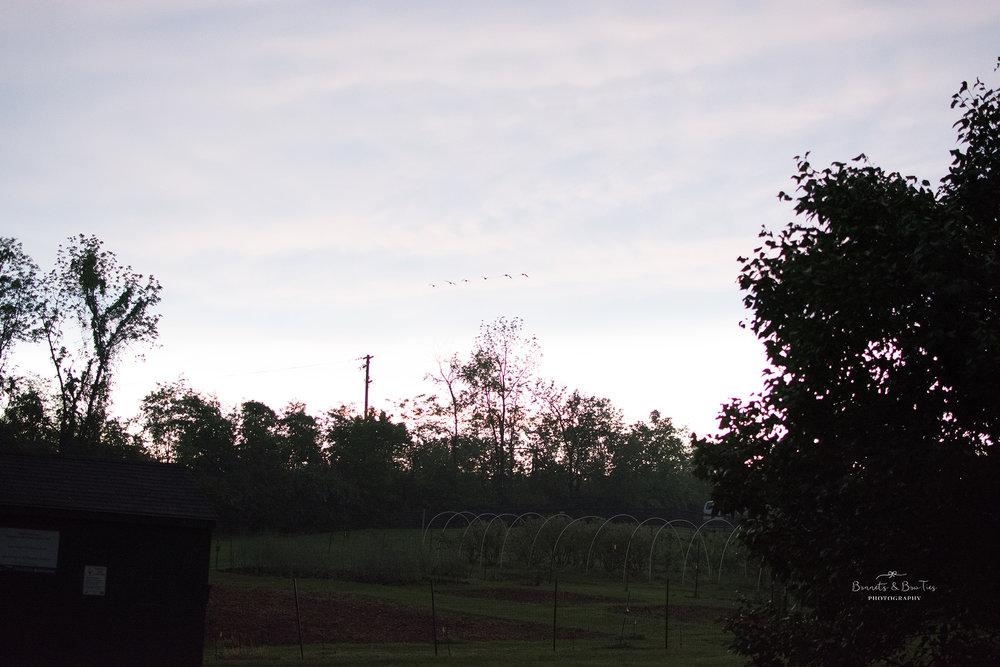 geese flying overhead.jpg