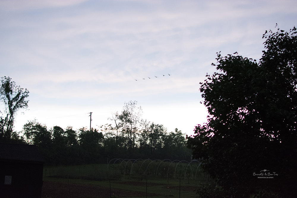 photo of geese flying.jpg