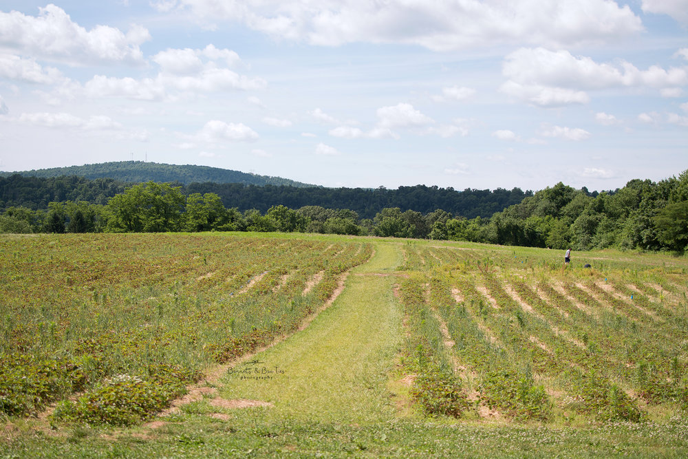 field of strawberries at barefoot farm.jpg