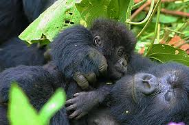 Climbed the Virunga mountains to see the Gorillas of Rwanda 1 week before the genocide happened. Very close to my heart.