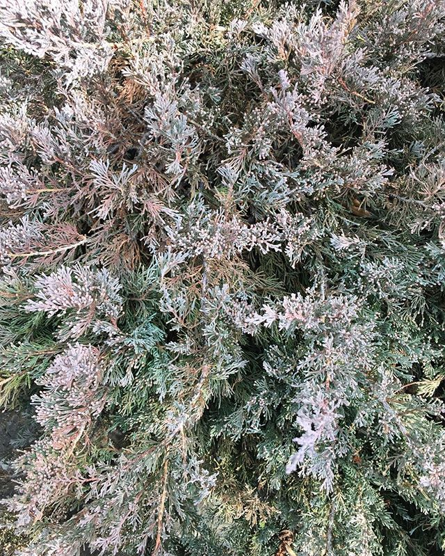 Bronzy Juniper showing off its winter hues 👚👕👗 . . . #juniper #plants #pretty #embark #urbangarden #jardin #flashesofdelight #pastel #design #nature