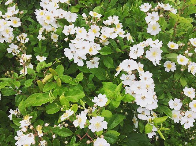 Rosa multiflora - invasive but smells so sweet . . . #pretty #urbanecology #roses #dsfloral #brooklyn