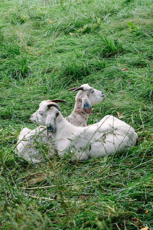 Stone Barns goats
