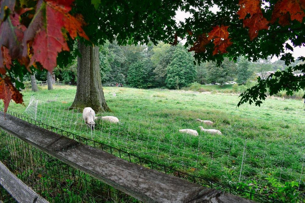 Stone Barns sheep