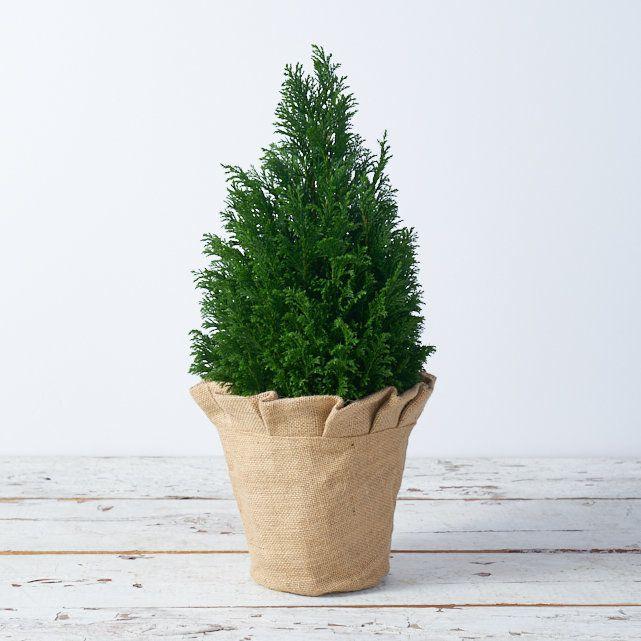 Minimalist Christmas Decorations:Potted Cedar Tree