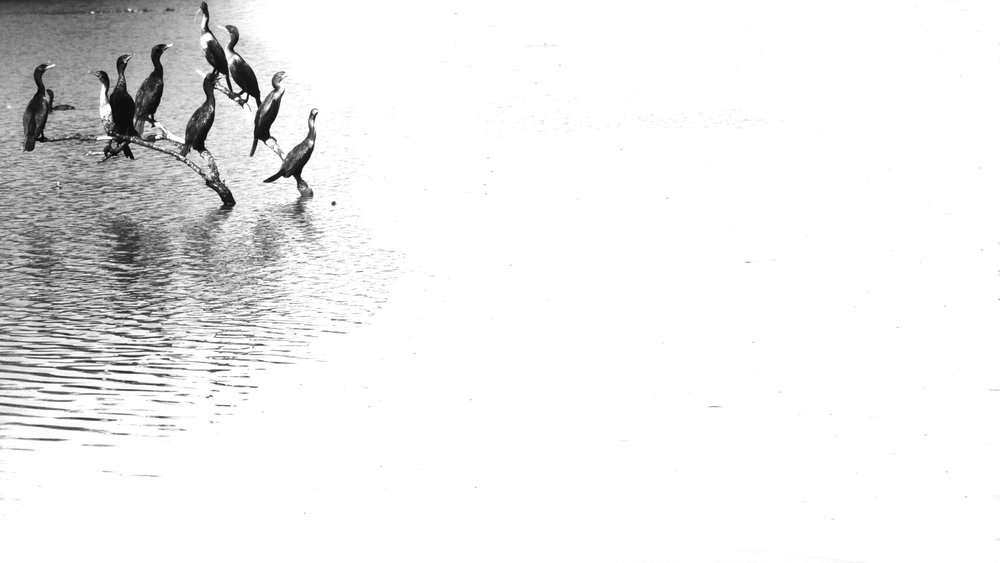 Cormorants-Minimalism