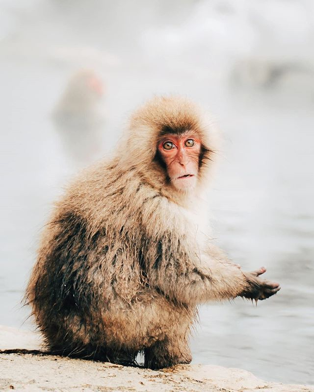 When someone takes your food out of the fridge 🙈🙉🙊 #snowmonkey . Thanks to everyone who voted on my stories. This is the crowd favourite. Don't worry there will be more monkies popping up on your feed soon :)))