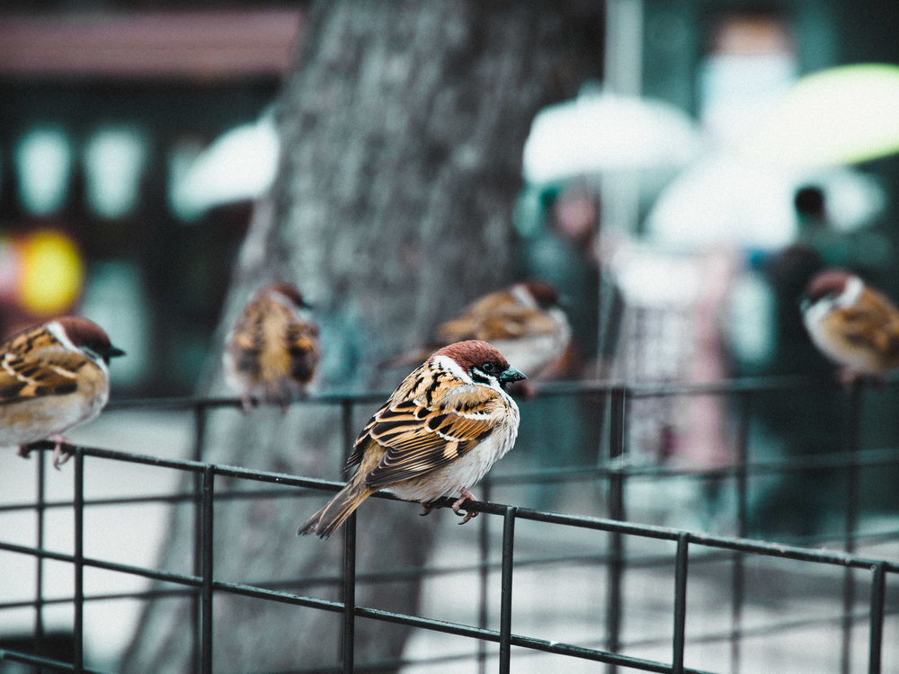 Miyajima Sparrows