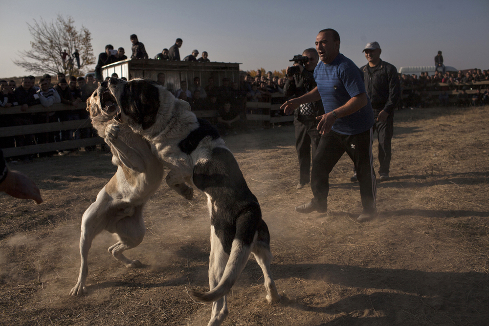 Championship of Armenian dog fights. 2013