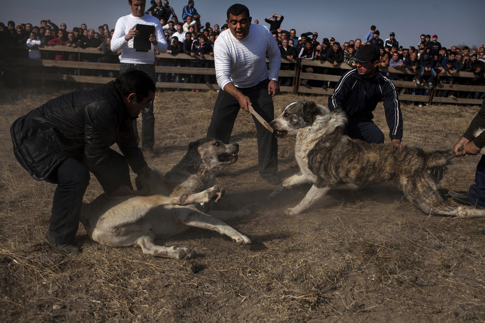 There are clear rules for fighting dogs. If a dog doesn't want to continue - owners are stopping the fight. 2013, Armenia