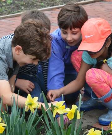 2nd grade_daffodils_cr.jpg