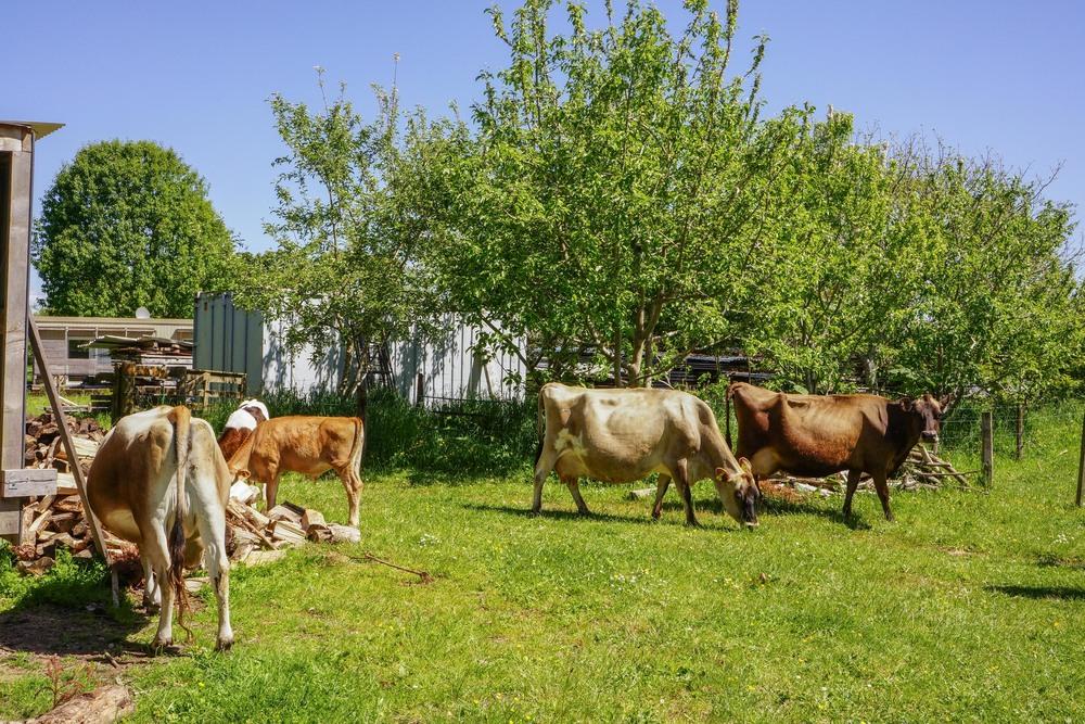 Fresh milk from bony cows.No pasteurization or homogenization.