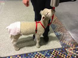 sheep diaper.jpg