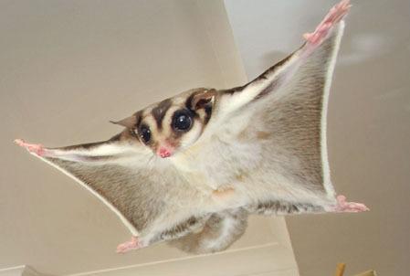 A flying fadoobada