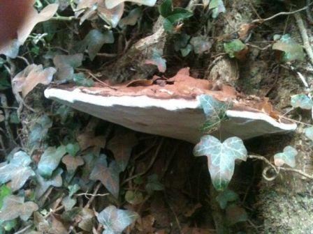 Ganoderma fungal bracket