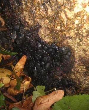 Kretschmaria fruiting bodies.
