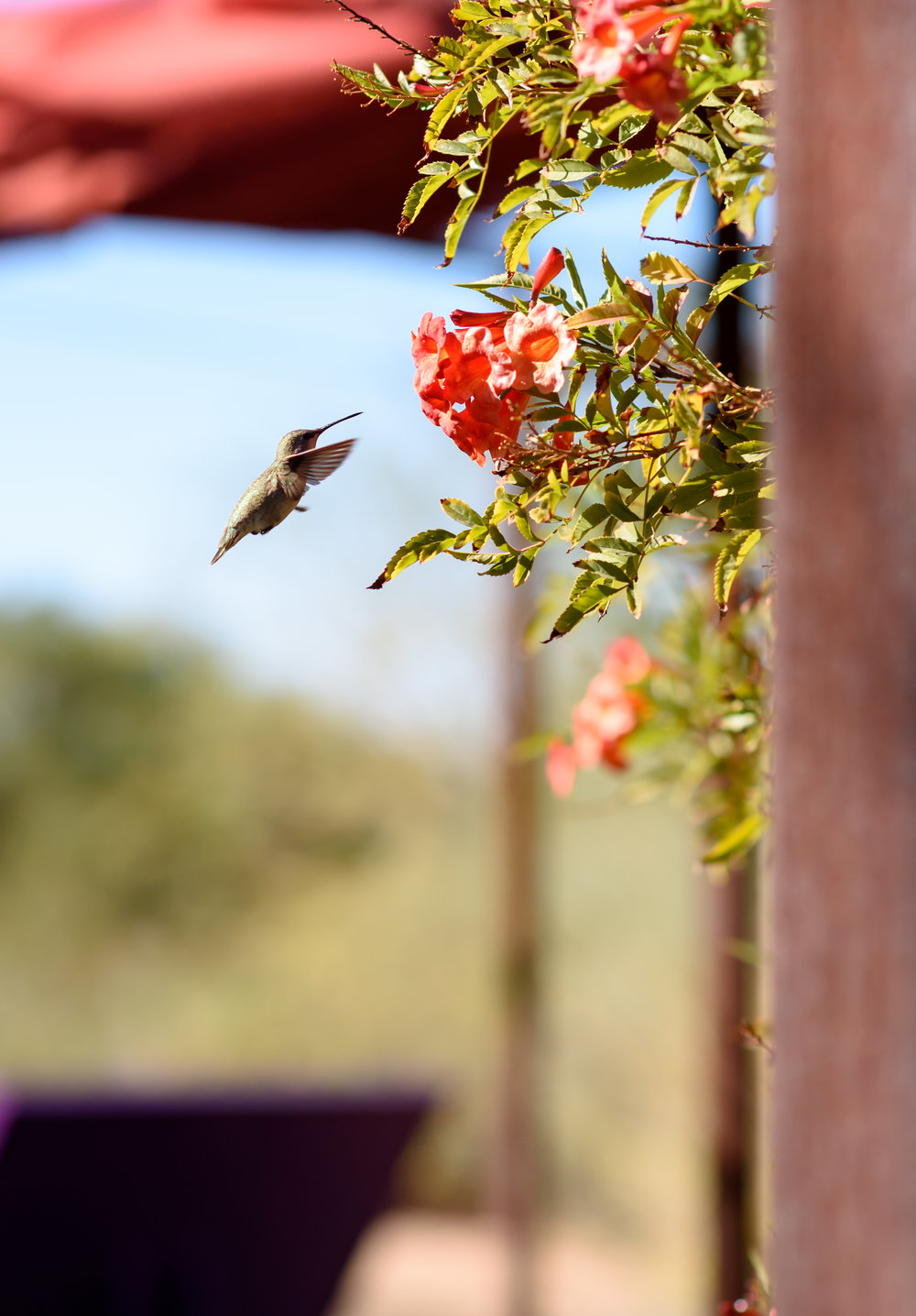 hummingbird phoenix kentucky photographer january june photography
