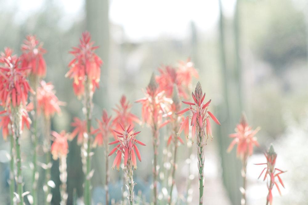 desert flowers phoenix january june photography