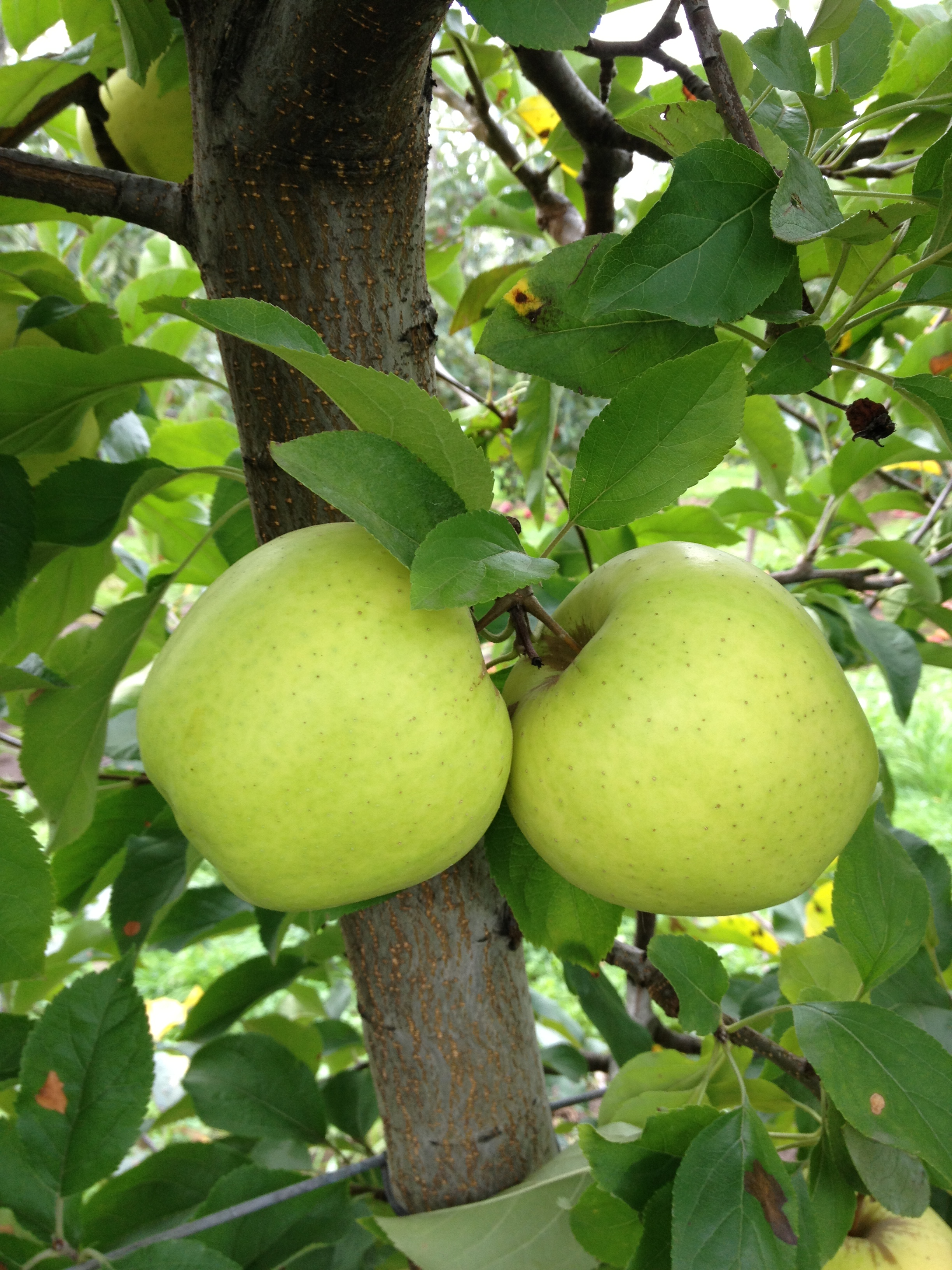 Quick Update on Ruby Mac and Golden Delicious — Beilke Family Farm