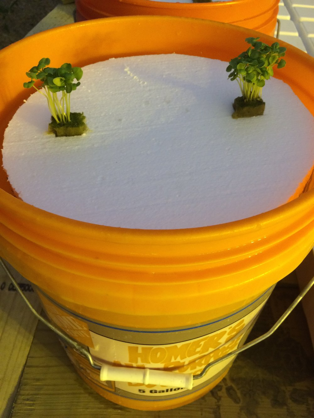 "Cut holes in the foam board to fit seedling plugs. Most leafy greens should be spaced 6"" apart. Fill bucket with water and mix in hydroponic fertilizer using recommended rates on fertilizer bag. For this system I used  MaxiGro by General Hydroponics ."