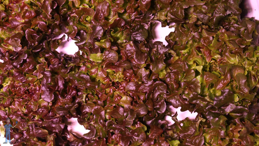 Red oakleaf lettuce grown under a blue heavy spectrum.