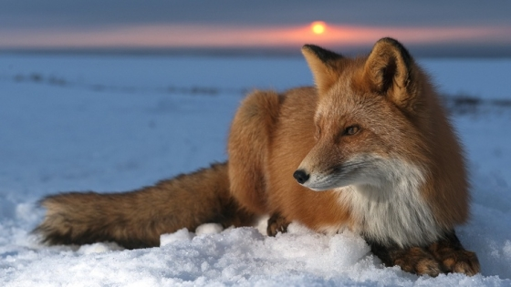 Picture from http://wiccanmoonsong.blogspot.com/2013/09/the-magickal-fox-as-totem-animal.html