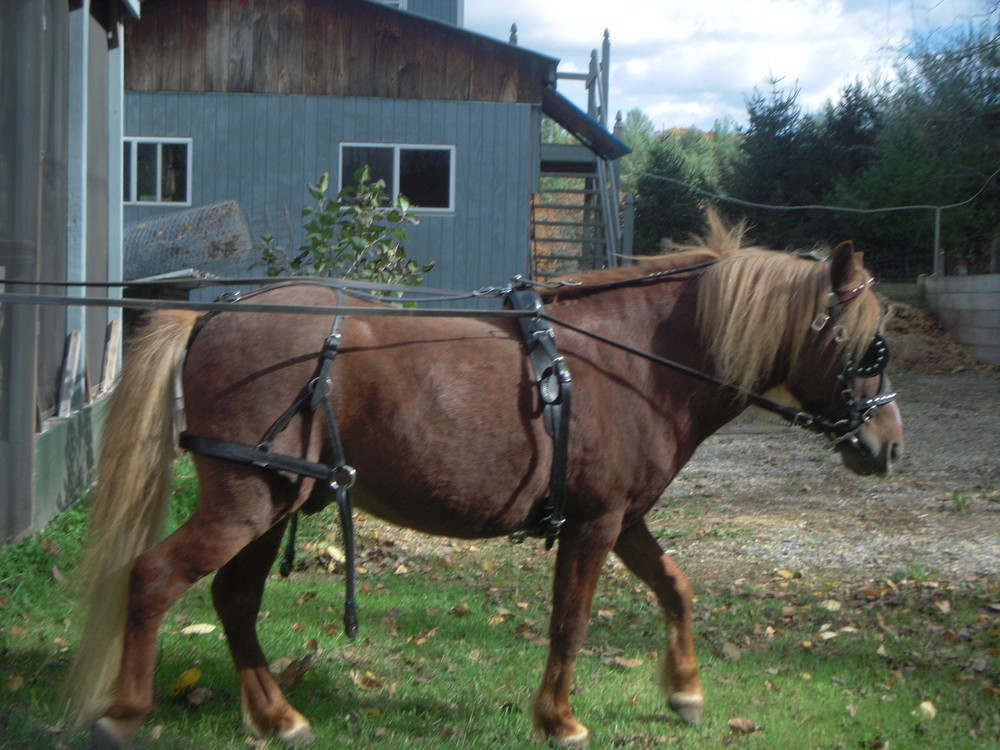 Rescue horse Romeo-harness.JPG