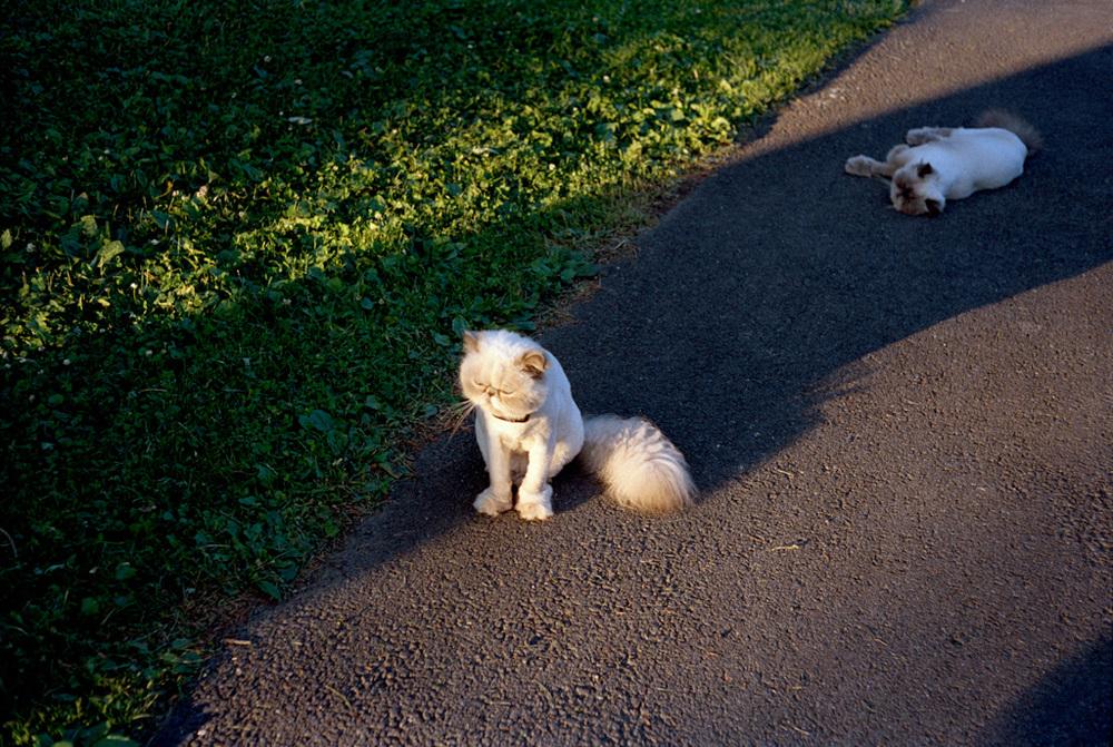 Stephen Shore's Cats, Tivoli, NY , 2009, Pigment print