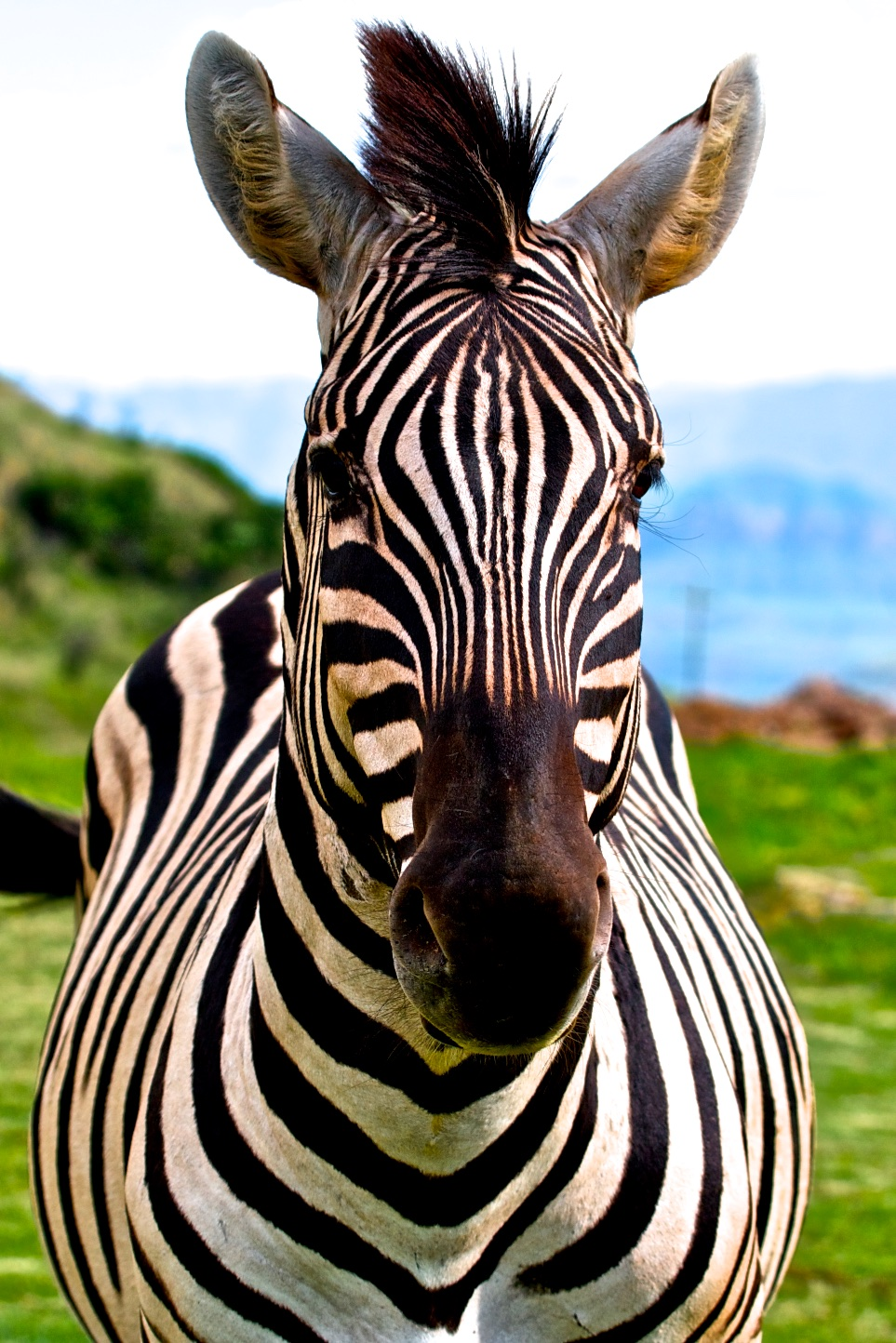 A zebra's stripes are like a human's fingerprints.