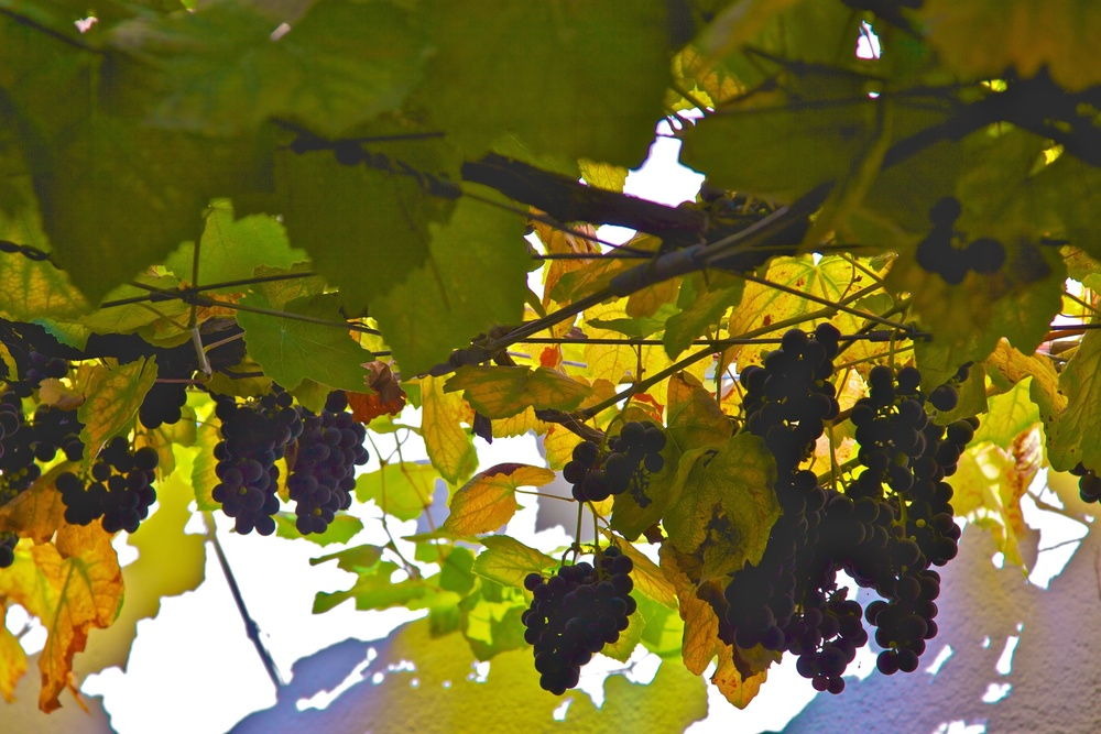Grapes ready to be harvested.