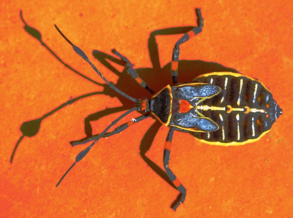Warrior bug.